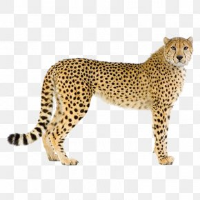 Leopard - Cheetah Leopard Cougar Stock Photography PNG