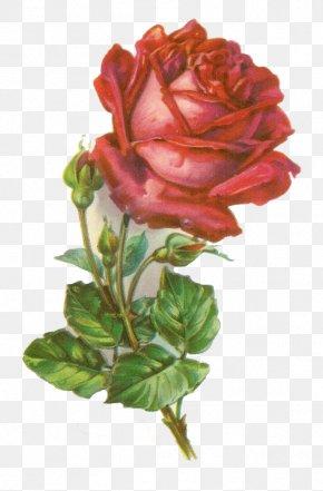 Rose - Rose Botanical Illustration Clip Art PNG
