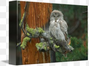 Great Grey Owl - Great Grey Owl Gallery Wrap Canvas Art PNG