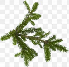 Fir-Tree Image - Fir Pine Tree PNG
