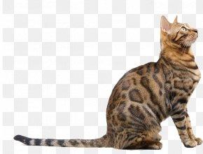Bengal Cat Looks Up To Heaven - Bengal Cat Russian Blue Bengal Tiger Dog Veterinarian PNG