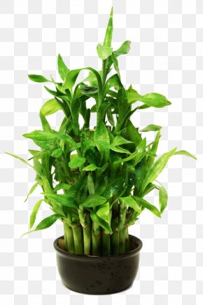 Lucky Bamboo Potted Photography - Lucky Bamboo Stock Photography Royalty-free PNG