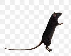 Rat Image - Brown Rat Mouse Rodent PNG
