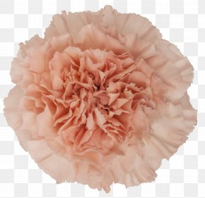 Mother 's Day Carnations - Carnation Pink Cut Flowers Rose PNG