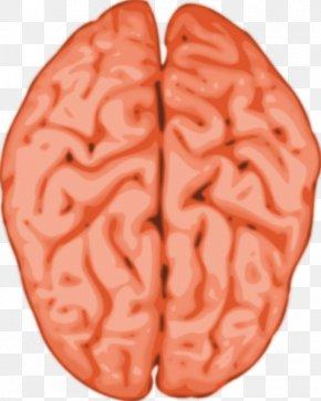 Human Anatomy Cliparts - Human Brain Grey Matter Clip Art PNG