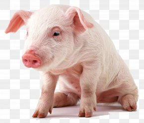 Pig - Vietnamese Pot-bellied Miniature Pig Display Resolution Paper Wallpaper PNG
