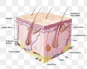 Parts Of The Body - Human Skin Cell Epidermis Anatomy PNG