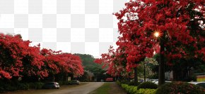 Road On Both Sides Of The Kapok Tree - Panzhihua Guangzhou Bombax Ceiba Paineira Flower PNG