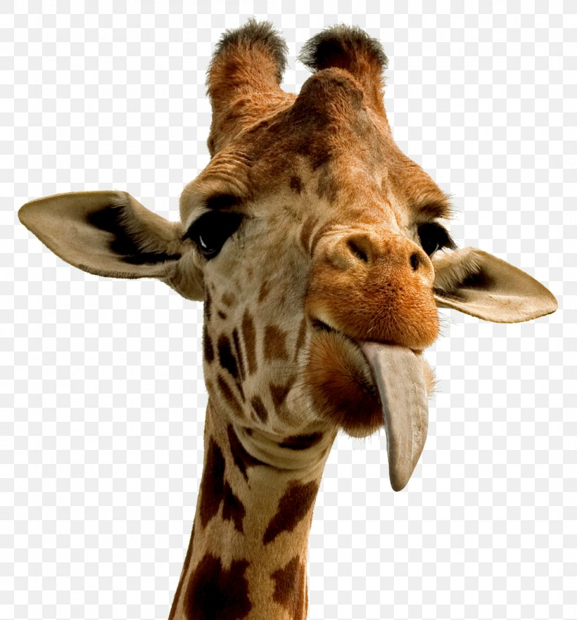 Giraffe Desktop Wallpaper Animal Wallpaper Png 1065x1146px Giraffe Animal Fauna Gift Giraffidae Download Free