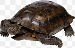 Turtle - Turtle Galapagos Giant Tortoise Birthday Reptile PNG