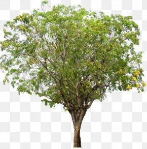 Tamarind - Narra Tree Dalbergieae Woody Plant PNG