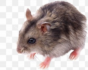 Little Mouse, Rat Image - Rat Mouse Clip Art PNG