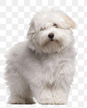 Puppy - Coton De Tulear Toliara Puppy Maltese Dog Bolognese Dog PNG