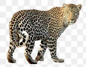 Leopard PNG