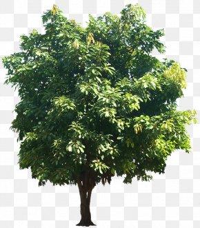 Fig - Ficus Virens Populus Alba Quercus Suber Banyan Plant PNG