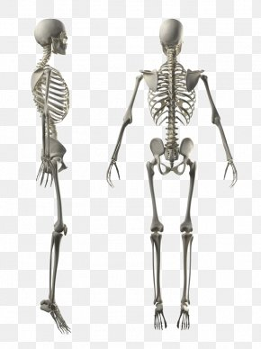 White Human Skeleton - Human Skeleton Human Body Stock Photography Anatomy PNG