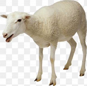 Sheep - Jacob Sheep Goat Cattle Clip Art PNG