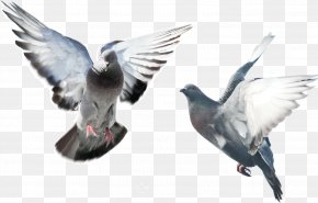 Flying Pigeon - Domestic Pigeon Fancy Pigeon Bird Blue Pigeon Flying/Sporting Pigeons PNG