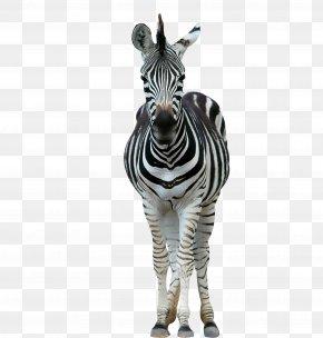 A Zebra - Lion Horse Zebra Wildlife Stripe PNG