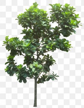Banana Leaves - Fiddle-leaf Fig Common Fig Weeping Fig Tree PNG