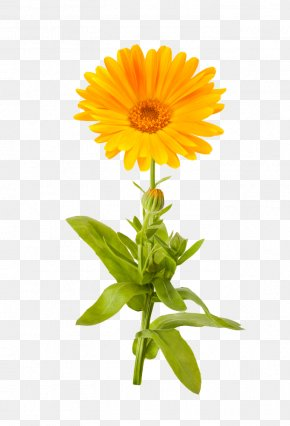 Marigold Picture - Calendula Officinalis Mexican Marigold Flower Stock Photography PNG