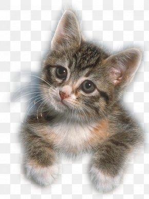 Kitten - Kitten European Shorthair American Wirehair Whiskers Norwegian Forest Cat PNG