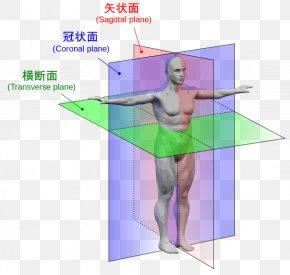 Human Body Anatomy - Anatomical Plane Anatomy Transverse Plane Human Body Sagittal Plane PNG