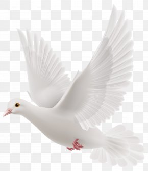 Snowy Pigeons - Rock Dove Columbidae Bird PNG