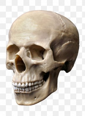 Skull - Human Skull Stock Photography Human Skeleton Human Head PNG