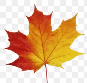 Maple Leaf - Sugar Maple Maple Leaf Stock Photography Clip Art PNG