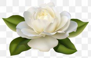 Beautiful White Rose With Leaves Image - Flower Jasminum Polyanthum Rose Clip Art PNG