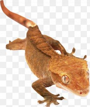 Qy - Agamas Lizard Gecko Chameleons 爬行动物: 蜥蜴 PNG