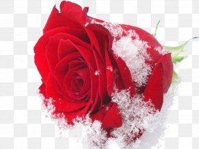 Beautiful Snow - Damask Rose Flower Roses In The Snow Rose Oil Winter PNG