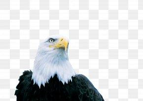 Eagle - Bald Eagle Shenzhen Xinhe (Group) Limited Company Hawk PNG