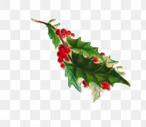 Holly Illustration Material - Common Holly Clip Art PNG