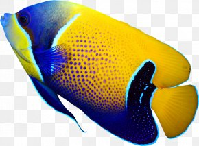 Deep Sea Fish - Pomacanthus Navarchus Emperor Angelfish Tropical Fish Coral Reef Fish PNG