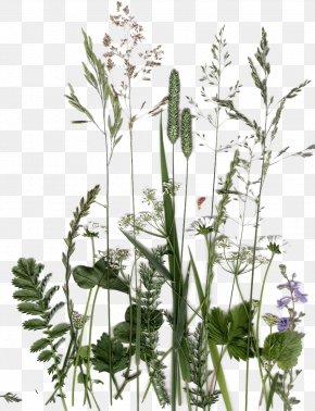 Dandelion Green Herb Collection - English Lavender Plant Flower Flora Leaf PNG