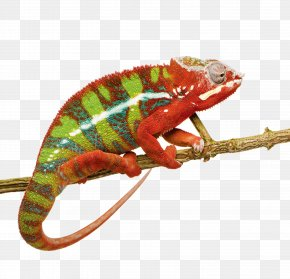 Chameleon - Panther Chameleon Ambilobe Lizard Reptile Stock Photography PNG