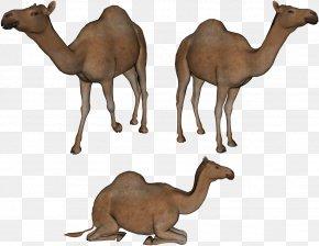 Camel Image - Bactrian Camel Dromedary Clip Art PNG
