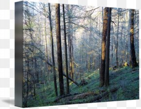 Old-growth Forest - Great Smoky Mountains National Park Woodland Temperate Broadleaf And Mixed Forest Northern Hardwood Forest PNG