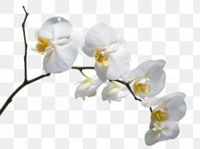 A White Flower - Moth Orchids Flower Please God Send Me A Husband Download PNG