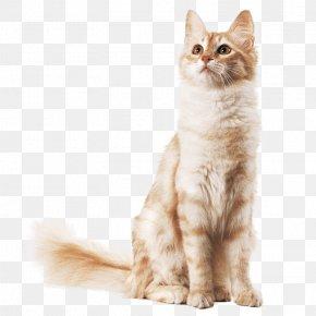 Kitten - Kitten Maine Coon Balinese Cat Turkish Angora American Wirehair PNG