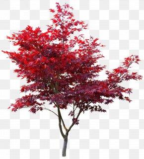 Japan - Japanese Maple Red Maple Autumn Leaf Color Maple Leaf Acer Japonicum PNG