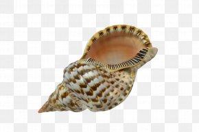 Seashells - Seashell Cockle Lobatus Gigas Conchology Charonia PNG
