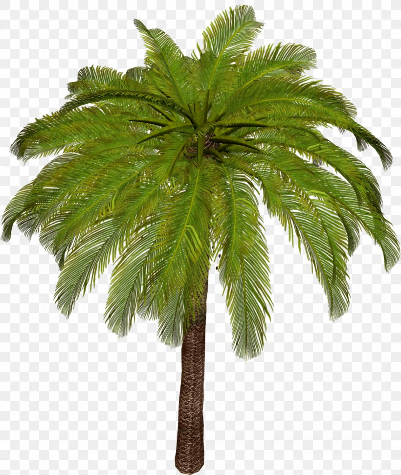 Arecaceae Asian Palmyra Palm Tree Leaf Plant Stem, PNG, 1317x1560px, Arecaceae, Arecales, Asian Palmyra Palm, Borassus, Borassus Flabellifer Download Free