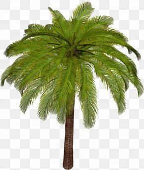 Palm Tree - Arecaceae Asian Palmyra Palm Tree Leaf Plant Stem PNG