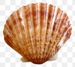 Shell - Clam Scallop Nantucket Seashell Cockle PNG