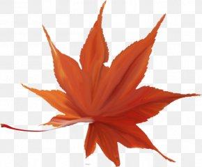 Leaf - Japanese Maple Autumn Leaf Color Maple Leaf Red Maple PNG