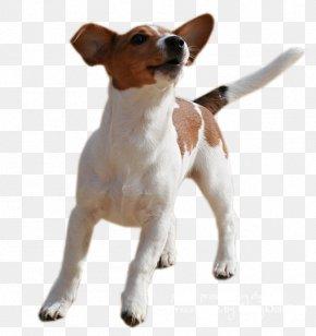 Jack - Jack Russell Terrier Parson Russell Terrier Miniature Fox Terrier Smooth Fox Terrier Rat Terrier PNG