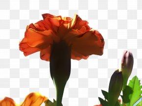 Amaryllis Belladonna Wildflower - Pink Flower Cartoon PNG